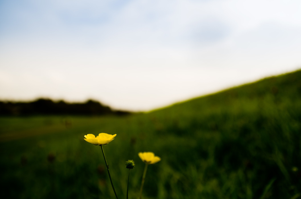 Buttercup Dyke Deich Flower Blume Macro Makro