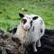 Curiosity Vestmannaeyjar Westmänner Iceland Island Sheep Schaf Lamb Lamm
