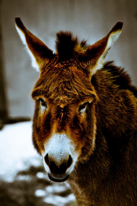 Dapple Donkey Esel