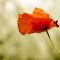 Last man standing Poppy Flower Mohnblume Blume Field Feld Plant Pflanze Summer Sommer