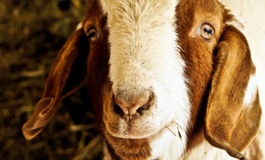 Rectangular Goat Ziege