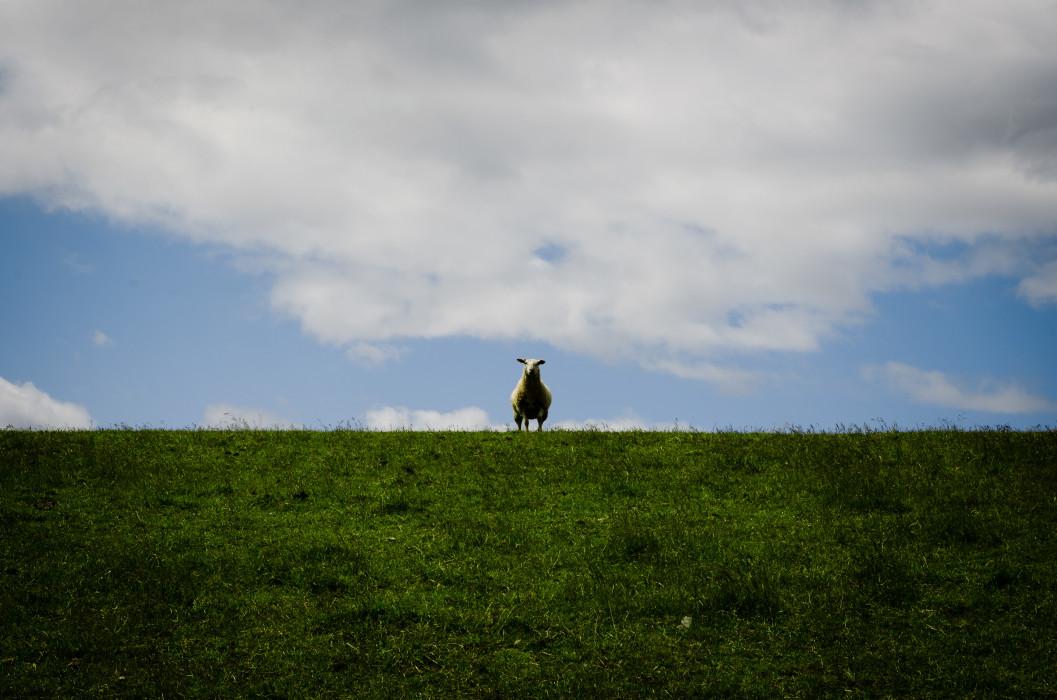 What's up Sheep Schaf Dyke Deich